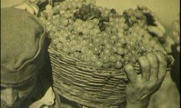 """Šumadijski """"šampanjac"""" pre 90 godina i priča o Venčačkoj vinogradarskoj zadruzi"""